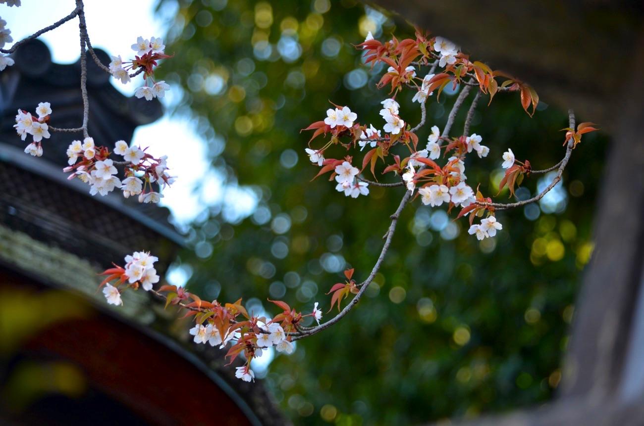 境内の桜が開花しはじめる