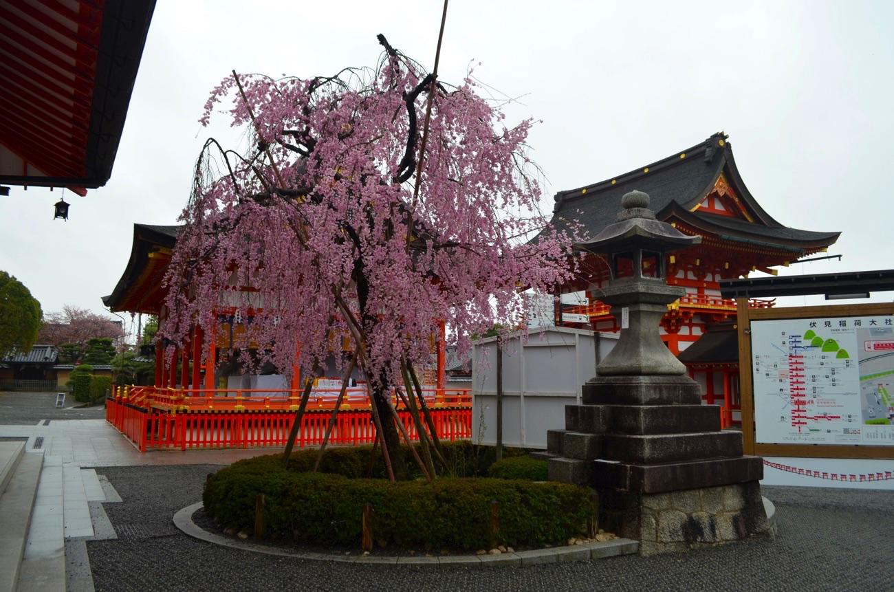 伏見稲荷大社境内の枝垂れ桜